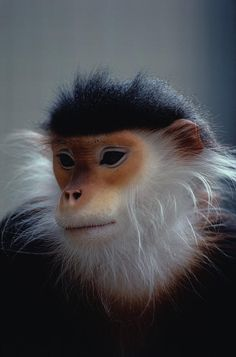 ✮ The Douc Langur is an endangered species native to Indo-China