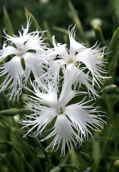 Dianthus arenarius   Flickr - Photo Sharing!