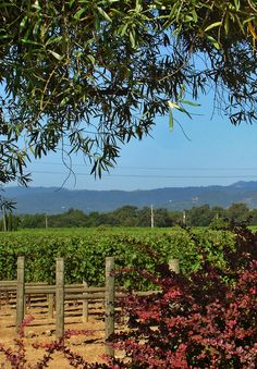 Napa Valley. California vineyards and wine country. Went to college in Angwin.