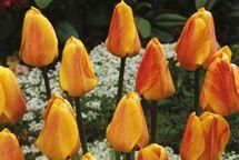 Tulppaani 'Beauty of Appeldoorn'