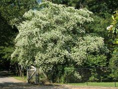 Birmingham Botanical Gardens, Alabama  Crape Myrtle Garden