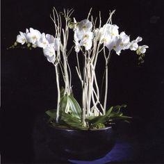 Coupe orchidée prestige