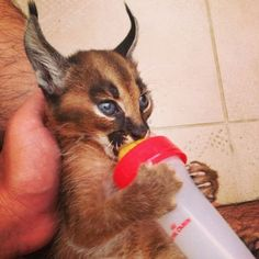"""The caracal is a medium sized cat which it spread in West Asia, South Asia, and Africa. The word Caracal is from Turkey """"Karakulak"""" which means """"Black Ears"""". Here is all about caracal as a pet. Baby Caracal, Caracal Kittens, Serval, Cute Kittens, Cats And Kittens, Beautiful Cats, Animals Beautiful, Cute Baby Animals, Animals And Pets"""