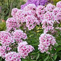 Bright Eyes Garden Phlox - Great summer flowering perennial producing fragrant, showy flowers in mid-summer. The flower is a clear pink with a red eye. Mildew resistant that enjoys moist, well-drained soil. Hummingbird Flowers, Hummingbird Garden, Blooming Flowers, Summer Flowers, Phlox Flowers, Planting Flowers, Flower Gardening, Growing Flowers, Garden Plants
