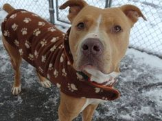 TO BE DESTROYED - 01/12/15 Manhattan Center -P  My name is MAX. My Animal ID # is A1024569. I am a male tan and white pit bull mix. The shelter thinks I am about 2 YEARS   I came in the shelter as a OWNER SUR on 01/03/2015 from NY 10469, owner surrender reason stated was INAD FACIL.