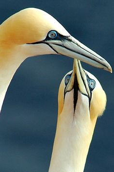 Gannets.