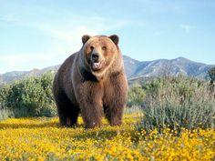 Kodiak Bears often reach a shoulder height of 10 ft!