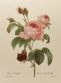 Tattoo idea. Pink Rose (Nursery Decor, Botanical Illustration) Redoute Flower No. 117
