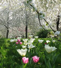 You can feel Spring in the air in this picture. Spring Colors, Hold On, Tulips, Nature, Garden, Flowers, Plants, Tulips Flowers, Florals