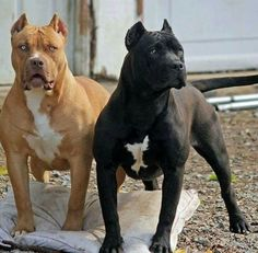 Pitbull Terrier Pitbulls colors -- CLICK Visit link above to see Amstaff Terrier, Bull Terrier Dog, All Black Pitbull, Big Pitbull, Big Dogs, Cute Dogs, Scary Dogs, Pitbull Pictures, American Pitbull