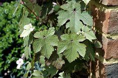 Vitis viniferus 'Purpurea' - leaves are purple in summer then red!  For arch.