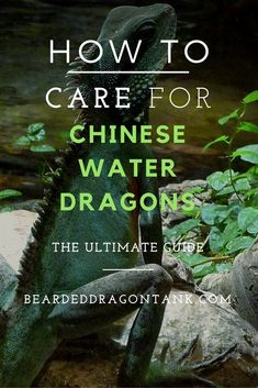 A complete care guide on chinese water dragons. http://beardeddragontank.com/the-ultimate-chinese-water-dragon-care-sheet #reptiles #chinesewaterdragons #reptilecare #pets #animals