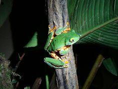Yellow-eyed Treefrog-COSTA RICA.