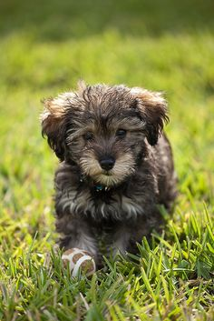 Schnoodle! These are great dogs  Small dog (around 15 pounds) with a