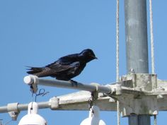 Bird Photos, Birding Sites, Bird Information: PURPLE MARTINS, THEIR HOUSES AND IN FLIGHT, VISITO...