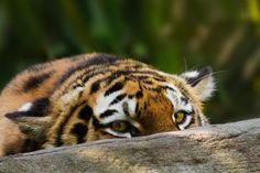 Crouching tiger...