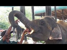 Milk Feeding Of Baby Elephants in Pinnawala Elephant Orphanage, Shri Lanka… #funnypetvideos #funnyanimals