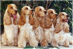 Orange and white English Cockers. Cocker Spaniel dog art portraits, photographs, information and just plain fun. Also see how artist Kline draws his dog art from only words at drawDOGS.com #drawDOGS http://drawdogs.com/product/dog-art/cocker-spaniel-dog-portrait-by-stephen-kline/