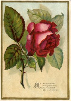 Victorian Images - Beautiful Red Rose - The Graphics Fairy