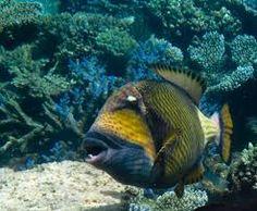 Resultado de imagem para trigger fish