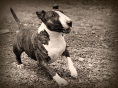 Larry the #Bullterrier by Feeferlump on @deviantART