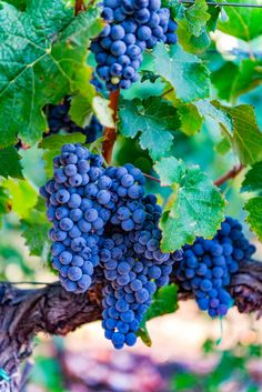 Old vines, strong and true, bring generations of fruit. Time makes the wine Sweeter Patience, Maura Patience RHMImages Fruit Plants, Fruit Garden, Fruit Trees, Trees To Plant, Fruit And Veg, Fruits And Vegetables, Fresh Fruit, Wine Vineyards, Fruit Picture
