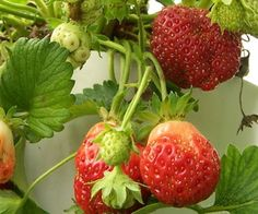 Very cool tutorial on how to affordably make a hyrdoponic strawberry tower!