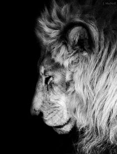 Best Lion Photos You Never Seen Before - Animals Comparison Lion Images, Lion Pictures, Animal Pictures, Beautiful Lion, Animals Beautiful, Cute Animals, Wild Animals, Lion And Lioness, Lion Of Judah