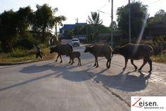 Rinder auf der Strasse Thailand, Horses, Animals, Cattle, Tour Operator, Travel, Animales, Animaux, Horse
