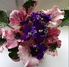 Gloxinia African, Apache Magic, Plants African Violets, Indoor Gardens, Garden African Violets, Fiołki Afrykańskie, Creator S African