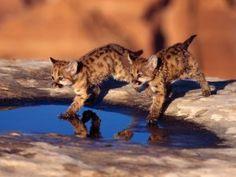 Dos cachorros de puma tocando el agua