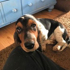 15 Reasons Why You Should Never Own Basset Hounds - Dog Red Line Basset Puppies, Hound Puppies, Basset Hound Puppy, Dogs And Puppies, Doggies, Beagles, Puppy Dog Eyes, Dog Cat, I Love Dogs