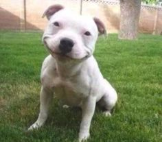 Smiling Pitbull Puppy is Smiling fell in love with this unabashed smile.