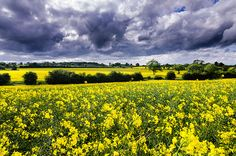 Clouds over rapeseed fields in Lincolnshire, England. Picture: Martin Binks of Sleaford, Lincolnshire