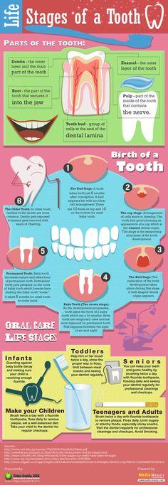 Etapas de los #dientes www.clinicadentalmagallanes.com