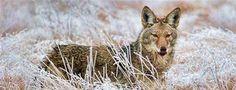 Coyote in Marymoor Park, Redmond, Washington  © Joseph Calev lick lick lick 😜 hope it was a nummy-treat🤞