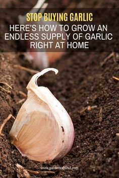 Stop Buying Garlic. Here's How To Grow An Endless Supply Of Garlic Right At Home Stop Buying Garlic. Here's How To Grow An Endless Supply Of Garlic Right At Home,Permaculture Garlic is a simple food that has strong healing properties. Growing Veggies, Growing Plants, Growing Onions, Growing Herbs Indoors, Growing Fruit Trees, Growing Tomatoes, Gardening Supplies, Gardening Tips, Gardening Books