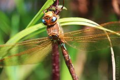 big azure and brown dragonfly