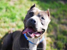 Meet DANE, a Petfinder adoptable Pit Bull Terrier Dog   Long Beach, CA   I WAS FOUND AT 2400 BLK PINE AVE IN LONG BEACH.My adoption evaluation date is 04/06/2015.