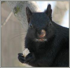 black squirrel.