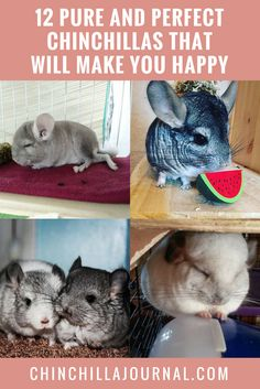 Chinchillas That Are Too Cute For Words Chinchillas - 29 adorable animals that will leave you smiling for the rest of the day