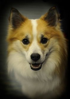 Icelandic Sheepdog | Note the striking similarity between Odinn and his father.