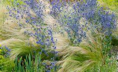 In Windrichtung legt sich das Zarte Federgras (Stipa tenuissima) zwischen die…