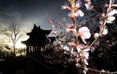 Un cerezo en flor delante de una pagoda china en el parque de Yuyuan Tan (Beijing)