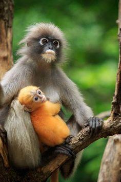 motherhood of Dusky leaf monkey, Dusky langur in southern of thailand royalty-free stock photo Primates, Mammals, Amazing Animals, Animals Beautiful, Nature Animals, Animals And Pets, Strange Animals, Cute Baby Animals, Funny Animals