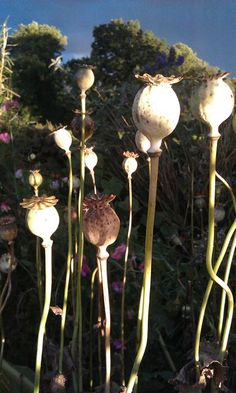 Poppy heads and afternoon light