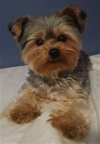 Learn about Yorkshire Terrier allergies. Symptoms, diagnosis, prevention and treatment for the Yorkie. Yorkie Teddy Bear Cut, Yorkie Cuts, Teddy Bear Puppies, Teddy Bears, York Terrier, Yorshire Terrier, Pitbull Terrier, Toy Yorkshire Terrier, Yorkshire Terrier Haircut
