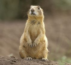 Prairie dogs have 10 different calls to identify humans, hawks, elk, and coyotes and even calls to describe their color, size and shape! Prairie Dog Hunting, Hunting Dogs, Prairie Dogs, Happy Animals, Animals And Pets, Cute Animals, Utah, Star Wars, Interesting Animals