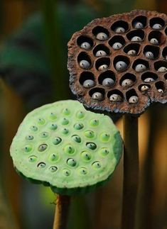 Lotus Seed Pods by Jerry Ting- Bonsai, Flora Und Fauna, Lotus Pods, Macro Flower, Lotus Flower, Organic Form, Cactus Y Suculentas, Seed Pods, Patterns In Nature