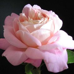 """Tiffany VI, Tall, vigorous growth produces very fragrant, large high centered, classic hybrid tea blooms of pink and yellow blend, perfect for cutting. Dark green, healthy foliage. 4"""" blooms with 28 petals."""